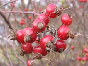 Rosa Carolina seeds, close-up lp