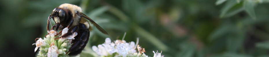 banner bee on mountain mint-home